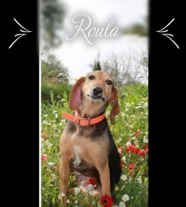 DASH Tierschutz Kalamata Hund Roula